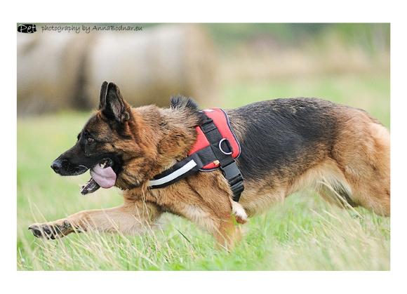 szelki dingo strong dla psów