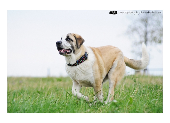 dingo obroża dla psa