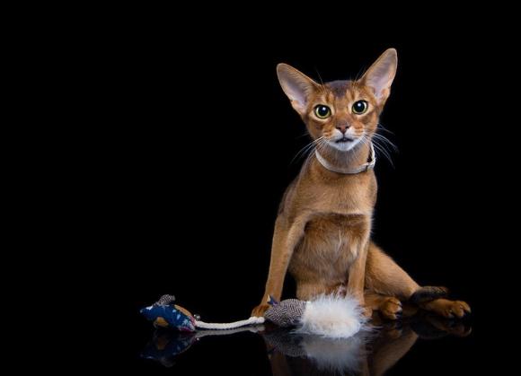 5904760213333 dingo zabaweczka dla kotków