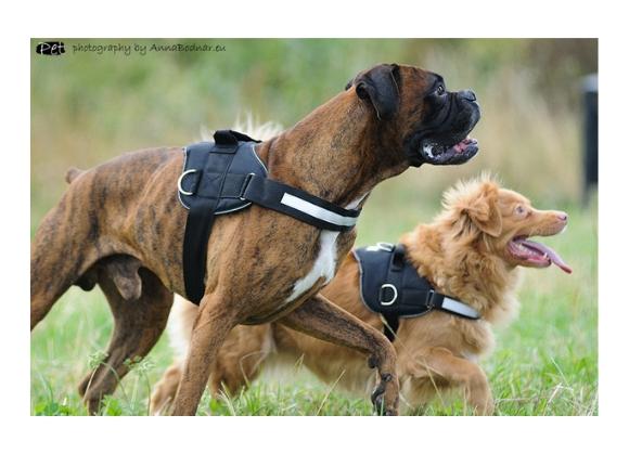 dingo szelki strong dla psa