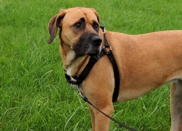 dingo szelki easy walk dla psa czarne