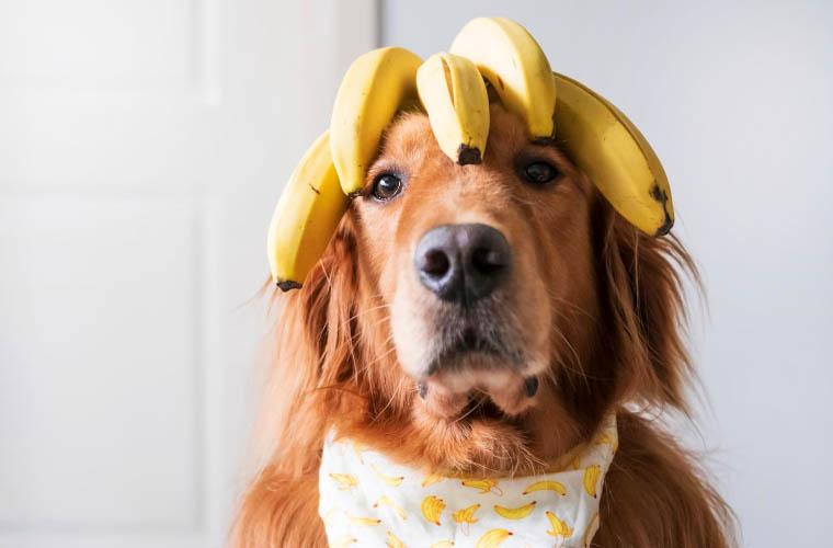 Czy pies moze jeść banany?