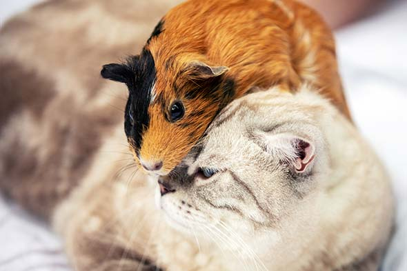 Czy świnka morska może mieszkać z kotem?