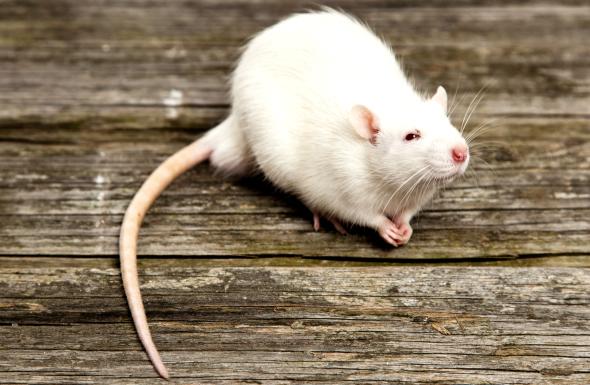 [Obrazek: jak-dlugo-zyja-szczury.jpg]